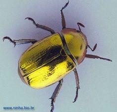 besouro dourado Mais