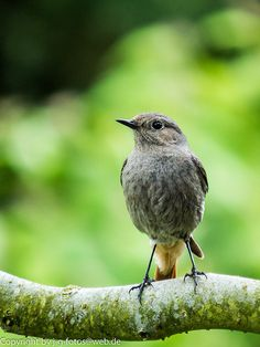 The Black Redstart (Phoenicurus ochruros) is a small passerine bird in the redstart genus Phoenicurus. It is a widespread breeder in south and central Europe and Asia and northwest Africa, from Great Britain and Ireland (where local) south to Morocco, east to central China.