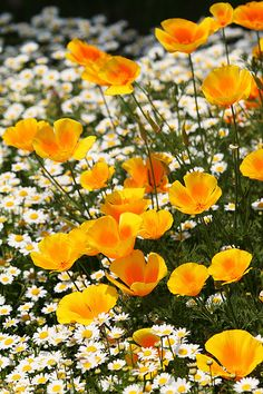 California Poppies and daisies - Boogie Oogie Outta Sight Orange & Lazy Daisies by Live Mulch #poppies #daisy