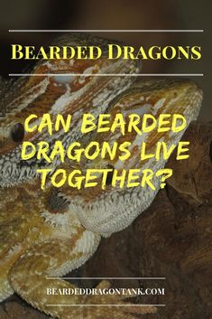 You want to get a couple of bearded dragons, but you are not sure if that is a good idea? This article will show you if bearded dragons can live together. Bearded Dragon Tank Setup, Bearded Dragon Lighting, Bearded Dragon Food, Bearded Dragon Enclosure, Bearded Dragon Habitat, Bearded Dragon Substrate, Dragon Facts, Dragons, Pet Name Tags