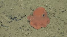 """Scientists in California are considering naming it """"Opisthoteuthis Adorabilis"""". It is the same genus as """"Pearl,"""" the octopus from Finding Nemo"""