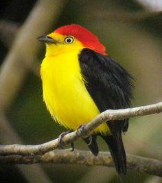 Ceratopipra mentalis (Manaquín cabeza roja), América central y noroeste de Sudamérica