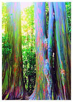 8. Tree Look Like a... ~ Rainbow. The beautiful rainbow eucalyptus.