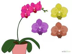 How to Care for Phalenopsis Orchids (Moth Orchids). Phalaenopsis orchids, also known as moth orchids or phals, are a popular house plant native to Australia and southeastern Asia. Moth orchids are easy to raise and, if you take good care. Orchid Pot, Moth Orchid, Phalaenopsis Orchid, Orchid Plants, Orchid Care, Types Of Orchids, White Orchids, Popular House Plants, Orchid Drawing