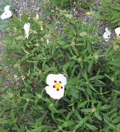 Cistus 'Alan Fradd' - 28 May 2012