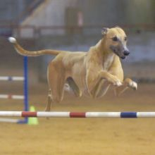 agility trials - KATIE'S LINKS... never say never greyhounds