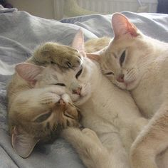 pinterest // @reflxctor kitties love  #animal #kitty #cats