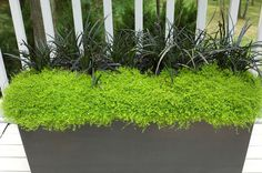 Black Mondo Grass and Scotch Moss by WestoverLandscapeDesign, via Flickr