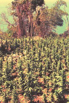 gardens looking good  ( marijuana cannabis )