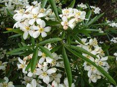 Choisya ternata 'Aztec Pearl' (Mexicaanse citroenbloesem, Mexican orange blossom) Mexicaanse citroenbloesem, de topper onder de planten, witte bloemen in mei en juni en nabloei in de nazomer, bloemen die heerlijk zoet geuren als citroenjasmijn bloesem. Het blad wat diep is ingesneden ruikt vrij zoet citroenachtig, zelfs in de winter geurd de plant nog steeds. Het mooie van de Choisya is dat de plant in de zon, halfschaduw en in de schaduw kan staan. Wor