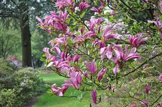 Perfect for small gardens, Magnolia 'Susan' is a slow-growing deciduous shrub or small tree with fragrant reddish-purple flowers in mid to late spring. Narrow goblet-shaped, the blossoms, up to 5 in. across (12 cm), count 6 slightly twisted tepals, purple-red on the outside and paler inside.