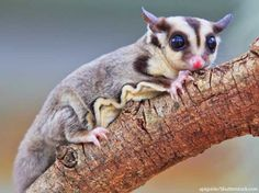 Possum facts for kids sugar glider looking cute home workout plans to lose weight Sugar Glider Care, Sugar Glider Toys, Sugar Gliders, Unique Animals, Animals And Pets, Baby Animals, Cute Animals, Possum Facts, Japanese Dwarf Flying Squirrel
