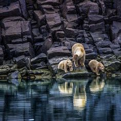 Photo by Paul Nicklen.  The future for polar bears is not bright but on February 14th, we can take solace in knowing that the sea ice is nearly at its maximum extent throughout the Arctic at this time of year.  This provides polar bears with maximum opportunity to feed on seals.  @sea_legacy  #climatechange #nature #mother #family #love #valentinesday