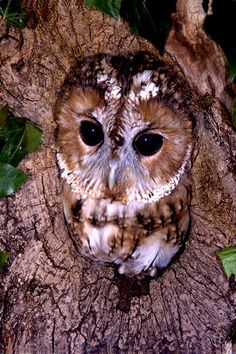 Tawny owl [Strix Aluco]