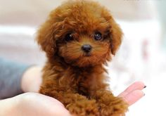 More About The Active Poodle Puppies Personality Teacup Poodle Puppies, Micro Teacup Puppies, Tea Cup Poodle, Tiny Puppies, Cute Puppies, Cute Dogs, Teacup Dogs, Teacup Maltipoo, Maltese Puppies
