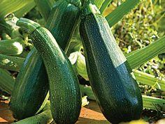 Planter la courgette en pot ou jardinière