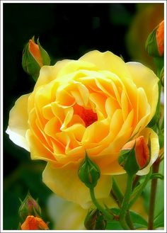 Beautiful Yellow Rose.