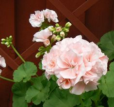 Mårbacka pelargonium. Flower: Double, pale pink. More sun more color. Leaf: Mid green leaves with almost non-existent zone. Other: Weak/Winding stems, ought to be pruned often. From the famous Swedish author Selma Lagerlöfs (born 1858 - died 1940) mansion 'Mårbacka'.