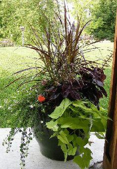 Purple Fountain Grass, Bacopa, Sweet Potato Vine, and Regal Geranium Potted Arrangement