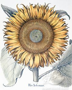 """""""Sunflower"""" Photography by Kamala Saraswathi posters, art prints, canvas prints, greeting cards or gallery prints. Find more Photography art prints and posters in the ARTFLAKES shop."""