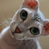 #dogalize Gatos feos: conoce a esto felinos especiales #dogs #cats #pets