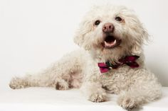 Cano, the poodle-mix