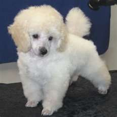 » Toy Poodle   Toy Poodle Dog detailed ...