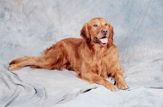 Red Golden Retriever   Dog Breeds WallpapersDog Breeds Wallpapers
