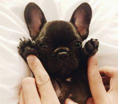 French Bulldog Puppy or adorable bat - you decide