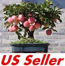 15 PCS Bonsai Apple Tree Seeds E32, Fruit Sweet Delicious US Seller