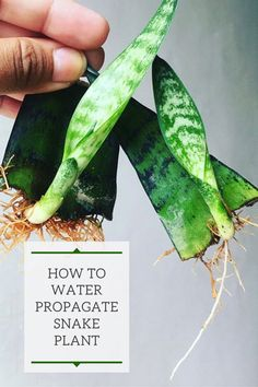 How to Propagate Snake Plant, or Sansevieria, in Water - How to Propagate Snake Plant, or Sansevieria, in Water Source by kaylagagne - Snake Plant Propagation, Sansevieria Plant, Plant Cuttings, Water Plants, Garden Plants, Indoor Plants, House Plants, Succulent Plants, Cool Plants