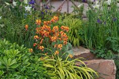 Wallflowers are definitely on trend: especially the perennial types. They flower for ages, grow quickly, don't get too big and offer an instant shot of colour in the border or in a container. Old favourites and new varieties colour the benches in garden centres and they featured in several show...