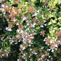 Glossy Abelia- great for forming a hedge        Butterflies love the trumpet-shape flowers that dangle from glossy abelias' branches all summer long. This shrub naturally forms an arching mound that grows 3 - 6 feet tall, but you can shear it to create a lower hedge.        Name: Abelia x grandiflora        Zones: 6 - 9