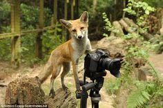 Fotografer Satwa Liar Difoto oleh Rubah