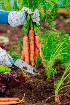 Karotten, Möhren anbauen - Aussaat und Pflege