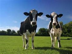 Dairy cows are everywhere too
