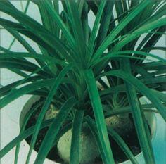 Ponytail Plant Info ~ via http://home.howstuffworks.com/ponytail-plant.htm