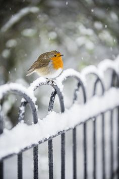 Robin in the Snow by Andrew Sidders°° - winter garden Winter Szenen, Winter Magic, Winter Time, Winter Christmas, Pretty Birds, Beautiful Birds, Animals Beautiful, Hirsch Illustration, Snow Pictures