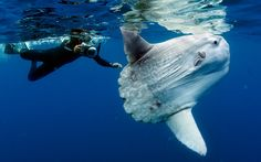 A diver takes a picture of the friendly Mola mola, in San Diego, California. A deep water fish known as Mola mola swims to the surface of the ocean - and eyes the camera. The images of the elusive and bizarre-looking fish were captured on numerous trips around the world by experienced diver Daniel Botelho. With its bulbous eyes, flat body and tiny fins, the ocean sunfish is an unusual sight in the blue waters of California and Bali. Mola mola are the heaviest known bony fish in the world…