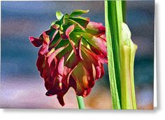 Red Pitcher Plant Greeting Card by Deb Hayes
