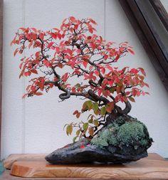 紅葉の花梨の石付盆栽 Karin on a rock with red leaves 2013.11.02 撮影