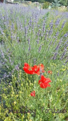 Carshalton Lavender and poppies
