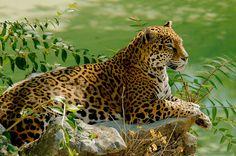 Felidae - Pantherinae - Panthera - Panthera onca (Jaguar) : A cabeça da onça pintada é grande e a mandíbula é desenvolvida e forte. Possui a mordida mais forte de todos os felinos, capaz de alcançar até 910 kgf. É duas vezes a força da mordida de um leão e só não é maior que a da mordida de uma hiena; tal força é capaz de quebrar o casco de tartarugas. Um estudo comparativo colocou-a em ...