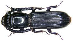 Passandra trigemina Newman, 1839 by urjsa, via Flickr