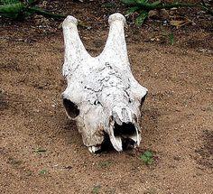 Giraffe skull in one of the Kruger camps Camps, South Africa, Giraffe, Skull, Park, Animals, Felt Giraffe, Animales, Animaux