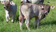 El ganado Braunvieh es muy dócil, de muy buena musculatura con patas y pezuñas muy educadas, propias de animales de muchas generaciones de vivir en zonas montañosas. Son animales fuertes, de pecho muy ancho, con muy buena profundidad corporal y hueso
