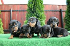 dachshund puppies 😙 #mysteeldogs kennel