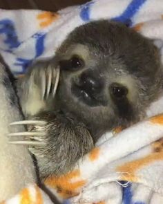 Apparently a sibling of mine has fallen in love with this really ugly cat. Apparently a sibling of mine has fallen in love with this really ugly cat. Cute Baby Sloths, Cute Sloth, Baby Otters, Baby Animals Pictures, Animals And Pets, Ugly Animals, Fluffy Animals, Baby Pictures, Cute Little Animals
