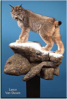 Bobcat By Peyser Taxidermy Www Peysertaxidermy Com