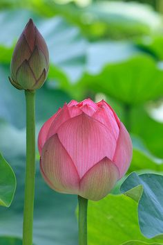 Lotus blossoms..can't wait...we have yellow, pink, and white in our bitsy backyard pond